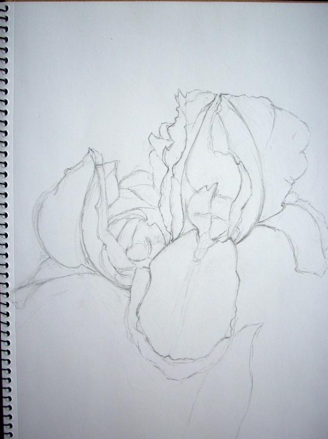 iris-drawing1