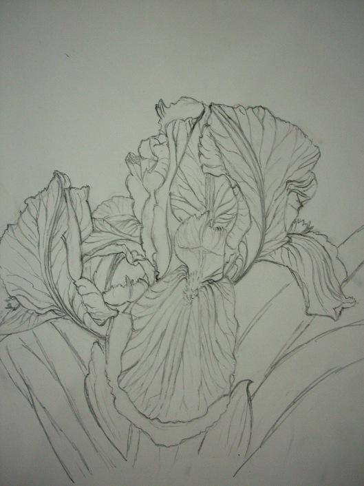 iris-drawing2