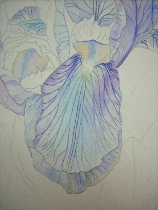 last stage of lower petals - iris