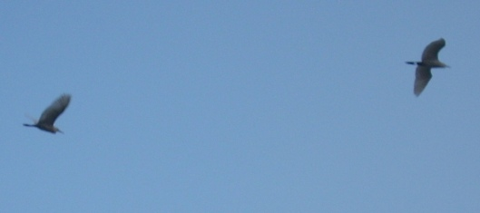 cranes-flying
