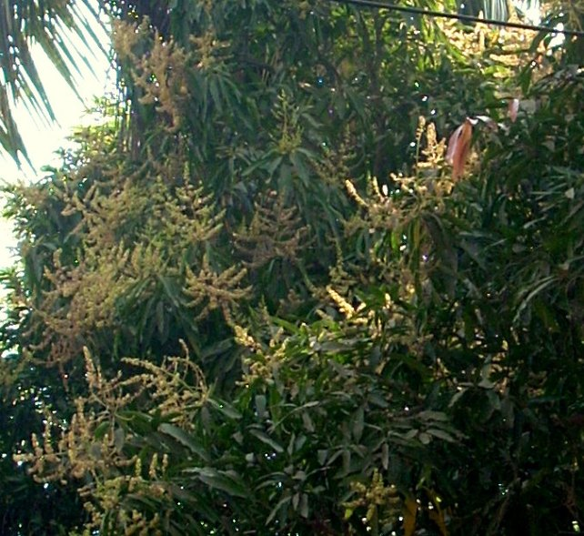mango tree blossoming