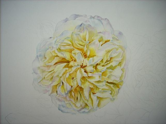 pilgrim rose