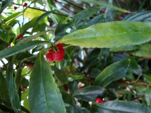Coral berry, spice berry