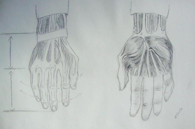hands - skeletal structure