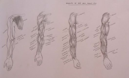 Muscles of the Arm, Front View