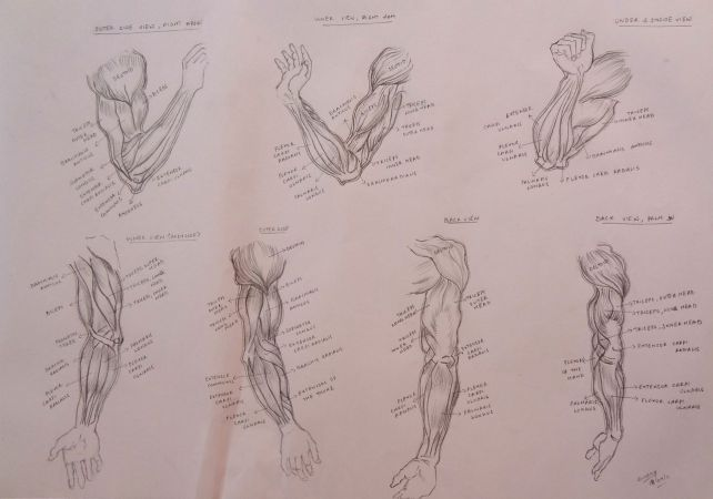 Muscles of the Arm , Other Views