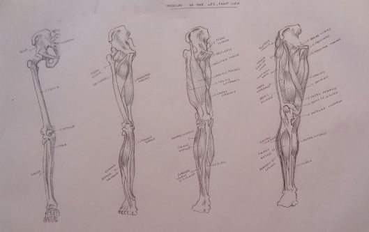 Muscles of the Leg, Front View
