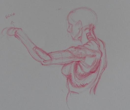 arm study from Vilppu