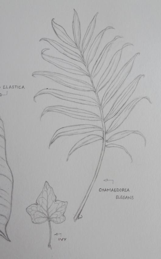 Chamaedrea leaf