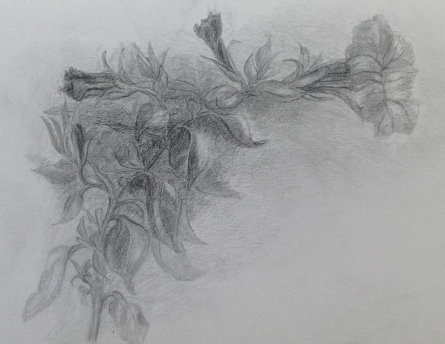 Petunia in graphite